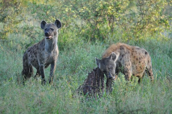 Kambaku Safari Lodge: Hyenas