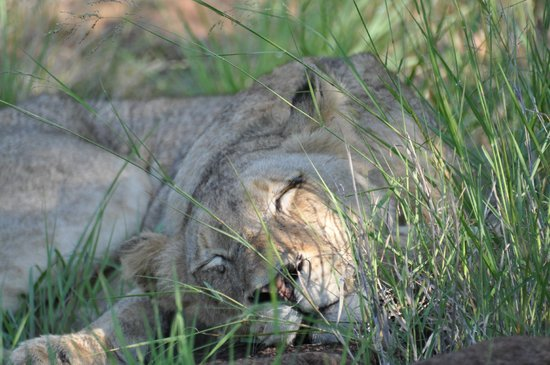 Kambaku Safari Lodge: Sleeping lion