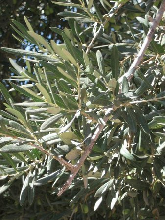 Bikes and Wines: Olive tree