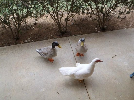 Paradise Lakes Motel: Some of the ducks who are happy to share your breakfast