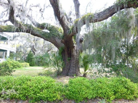 The Point: Live oak
