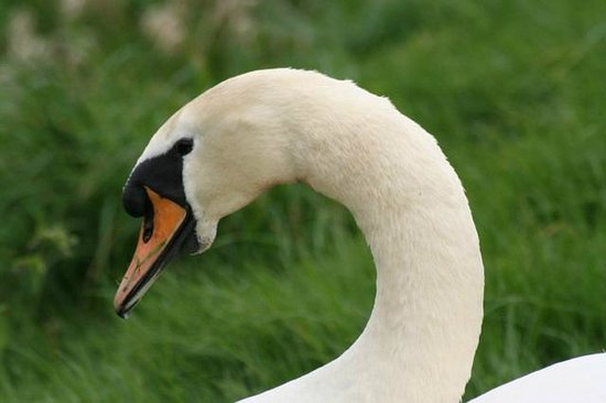 The Exe Valley Bed and Breakfast : Our resident swan