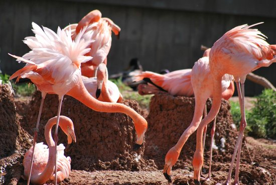Abilene Zoo: Flamingos