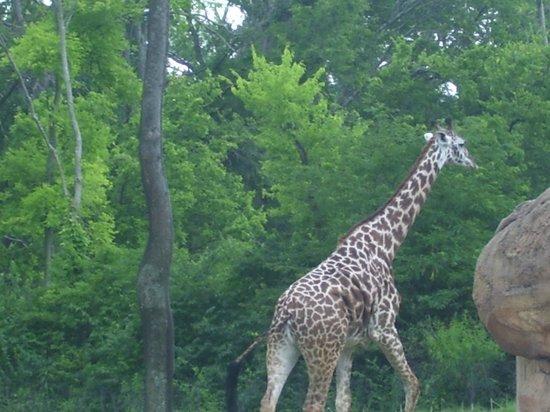 Nashville Zoo: giraffe