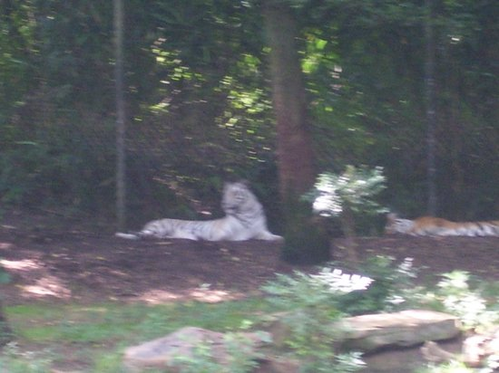Nashville Zoo: camera zoomed all the way it was too hot for this guy