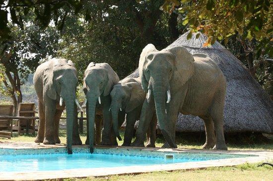 Flatdogs Camp: Elephants at the pool