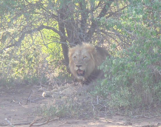 Singita Lebombo Lodge : Lions can notdo without