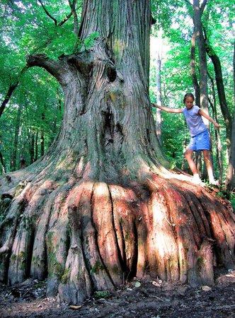 Buncombe, IL: Cypress Tress