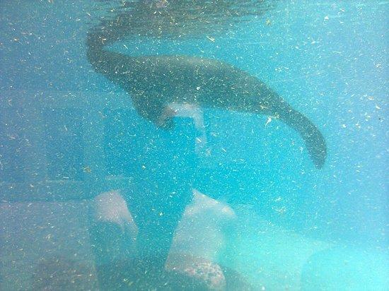 Peixe-boi, no tanque do Bosque da Ciência