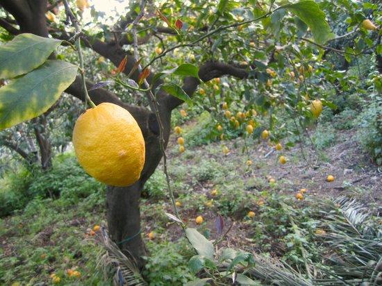 Il Ciliegio dell'Etna: limone dell'agrumeto