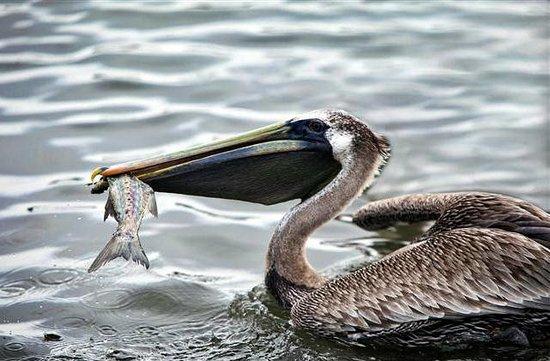 Malibu Pier : Pelican finding a meal