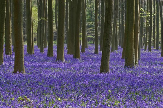 Burpham Country House: Local bluebells