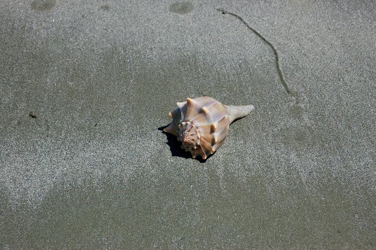 Cumberland Island, GA: Lightning Whelk, Cumberland National Seashore