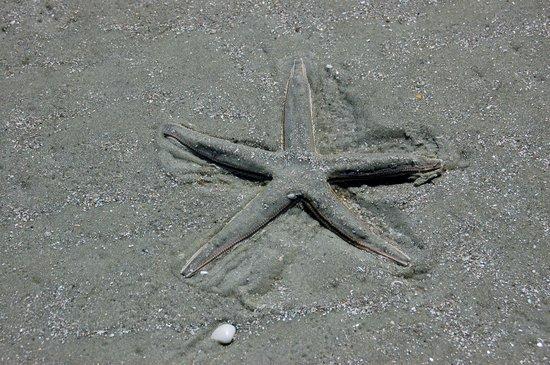 Cumberland Island, GA: Starfish, Cumberland National Seashore