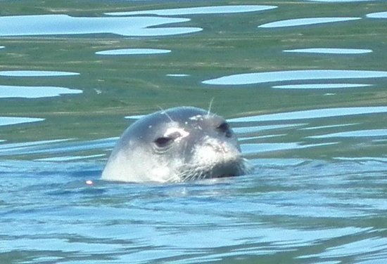 Monk seal near Steni Vala June 2012 - Photo de National ...