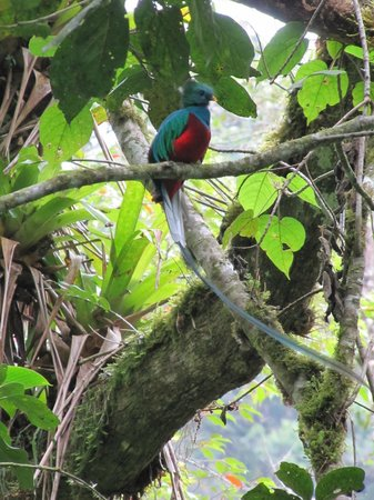 Boquete Garden Inn : Resplendant Male Quetzal on the Pipeline Trail