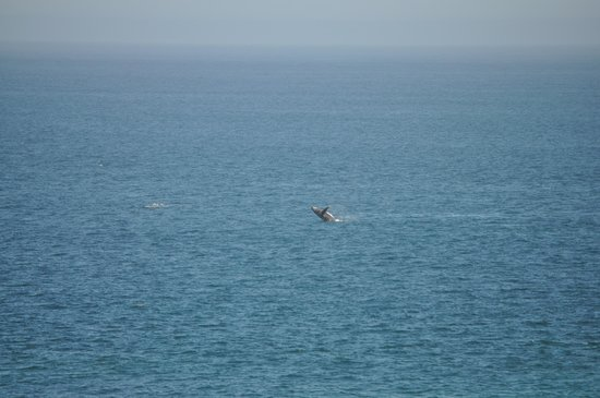 Hilton Los Cabos Beach & Golf Resort: Whale breaching - taken from lobby bar