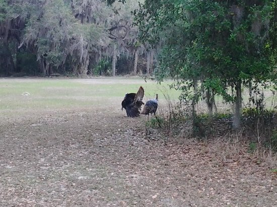 Ocklawaha, FL: turkeys putting on a show for the females