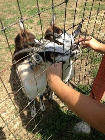Starlight Llama Bed and Breakfast: the friendly goats