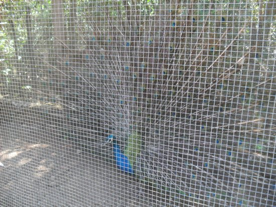 "Royal Decameron Golf, Beach Resort & Villas: peacock in a cage at an ""animal sanctuary"" on half day excusion"