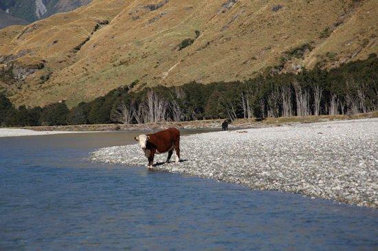 Wilkin River Jets : Cow crossing : )
