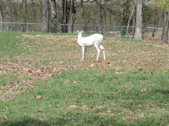 Grant's Farm: the white deer