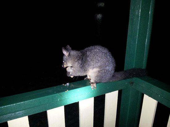Pebbly Beach: Possum