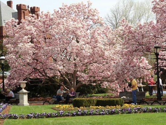 Magnolia Trees In The Enid A Haupt Garden Washington Dc Foto
