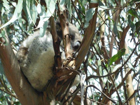 Phillip Island Nature Parks - Koala Conservation Centre: 1