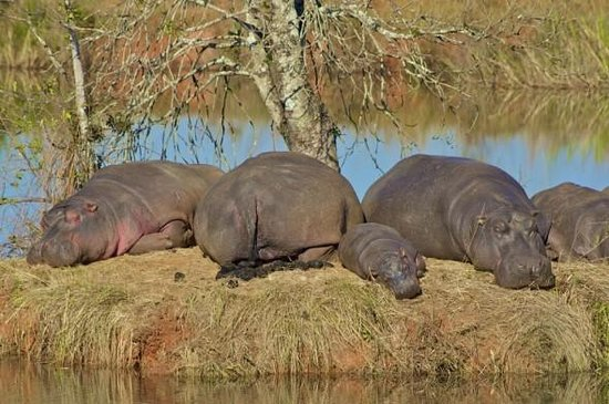 Mlilwane Hogs & Hippo Trail
