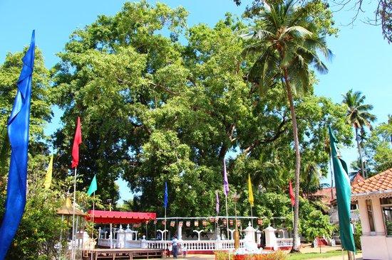 Isipathanaramaya Buddhist Temple: The Bo Tree