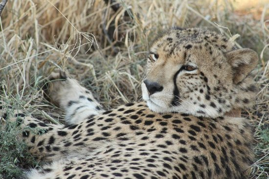 Buffalo Ridge Lodge: One of the four cheetahs on the reserve