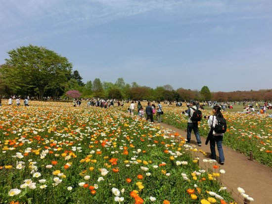 Tachikawa, Japan: 20130414_ポピーも満開