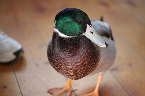 Puddleduck Vineyard: pet duck