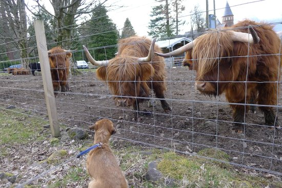The Torridon Inn : Hamish and the Highland Cattle