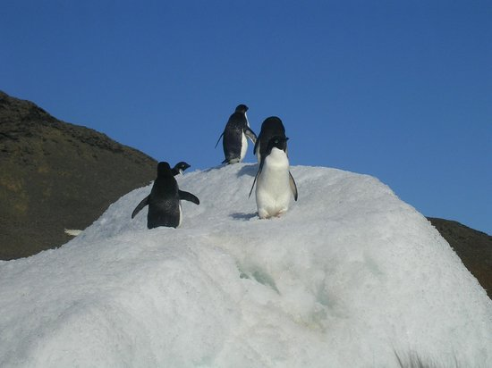 Antarctic Peninsula: Adelia Penguins