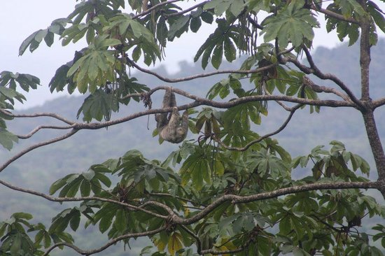 Samasati Retreat & Rainforest Sanctuary: This sloth lives in a tree visible from the restaurant