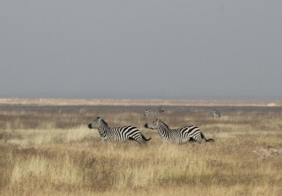 Lemala Ngorongoro Tented Camp: So fun to watch the zebras playing like horses do.