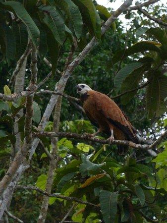 Muyuna Amazon Lodge : eagle
