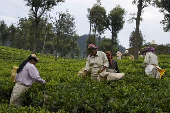 Coonoor, Inde : Tea pickers at Highfield Estate
