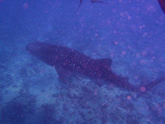 Lily Beach Resort & Spa: le requin baleine