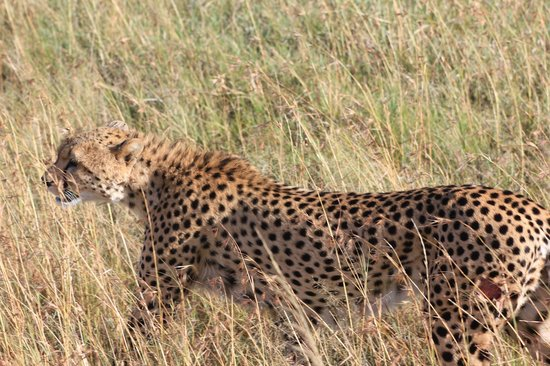 Oldarpoi Mara Camp: Safari