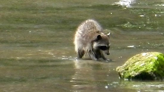 Sealegs Kayaking & Marine Adventures : Raccoon foraging on Dunsmuir Island