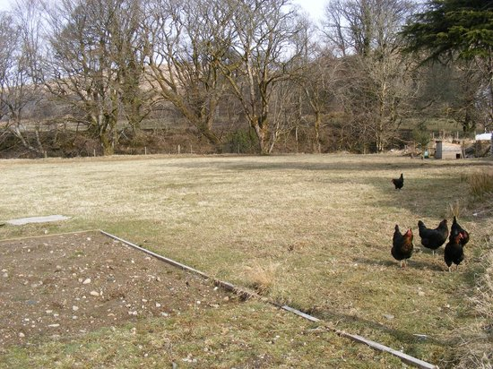 Balliemeanoch Breaks B&B: These are real free range chickens!
