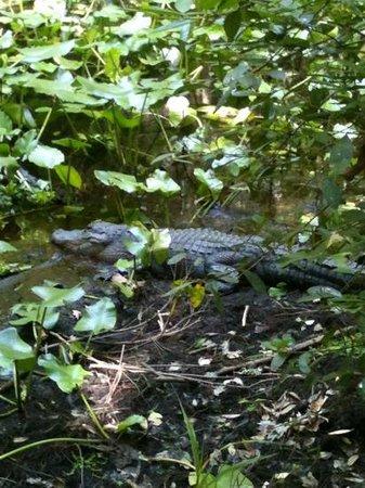 Highlands Hammock State Park: here gator, gator