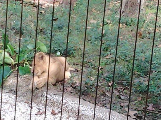 Ellen Trout Zoo: Lion cub