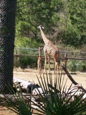 Ellen Trout Zoo: Baby giraffe