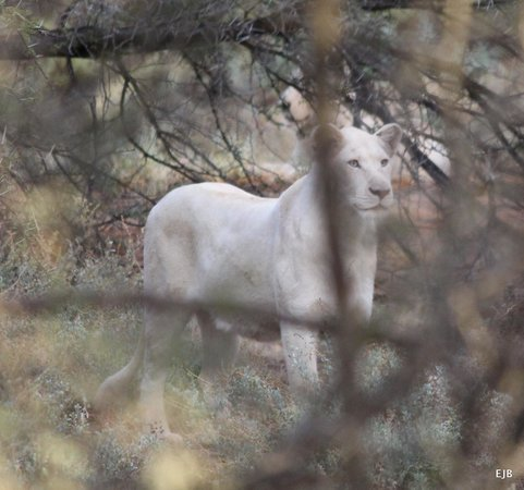 Sanbona Wildlife Reserve: White Lion