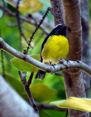 Oualie Beach Resort: These yellow birds were all around the resort.