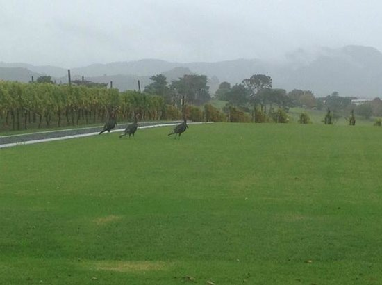 Takatu Lodge & Vineyard: Wild turkeys out for a morning stroll